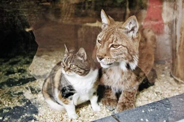 Чем закончилась удивительная дружба кошки и рыси, длиною в 12 лет