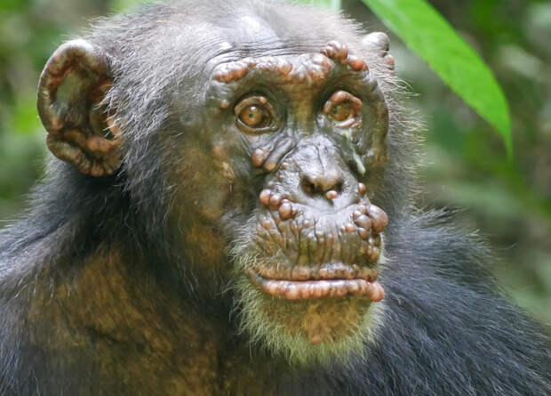 Зоологи впервые диагностировали проказу у диких шимпанзе
