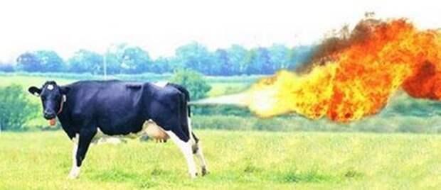 Странные истории о коровах