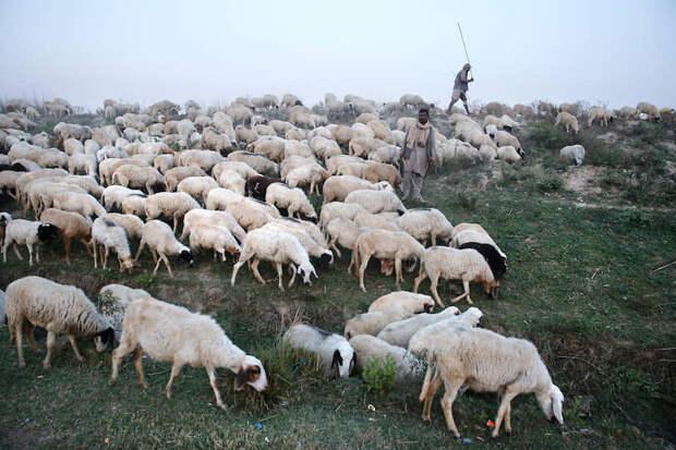 Рай-Барели, Индия. Пастухи пасут овец