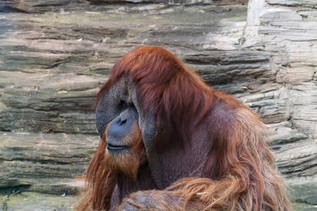 Орангутан — лесной человек