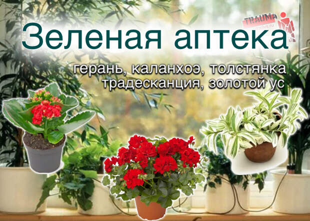 Зеленая аптека: герань; каланхоэ; толстянка; традесканция; золотой ус