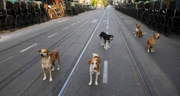 Животные захватили пустующие улицы Индии