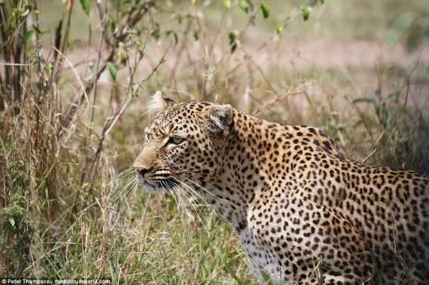 Беременная самка леопарда внимательно наблюдает за жертвой битва животных, бородавочник, заповедник, кения, леопард, масаи-мара, самка, схватка