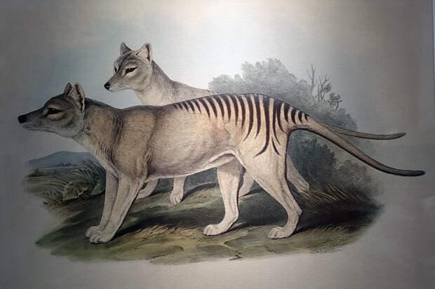 Так тасманский тигр выглядит на картинке.