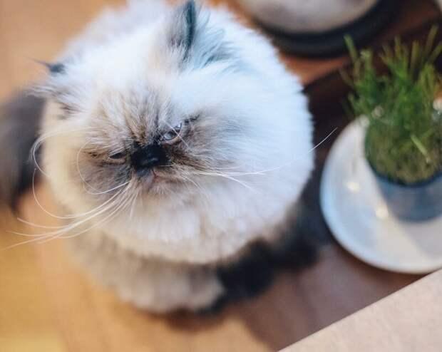 На мордахе этого гималайского котёнка — вселенское презрение, но в него невозможно не влюбиться! животные, кот, милота, мимика, морда, ненависть