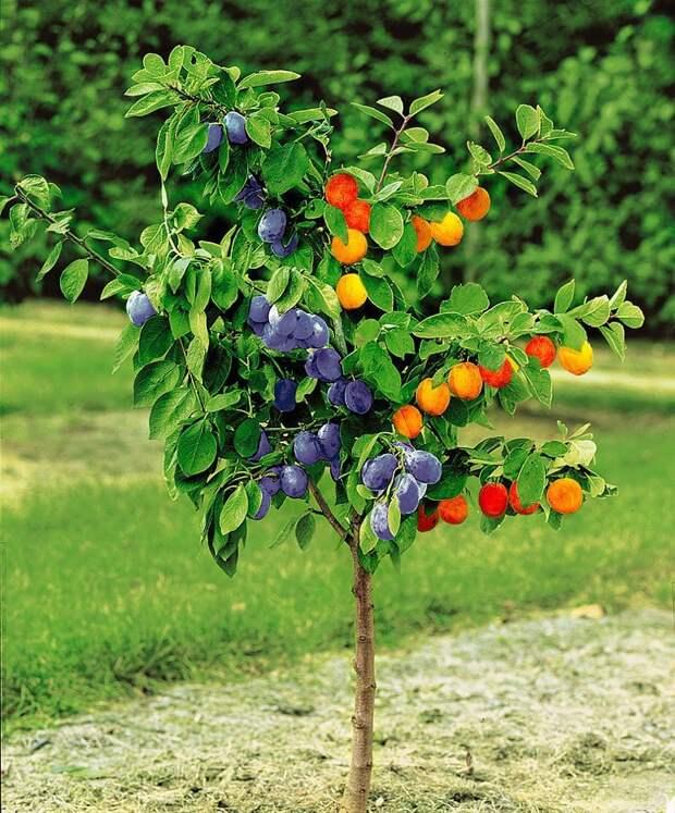 На молодое деревце (2-3 года) прививают черенки других сортов и получают вот такую красоту. Фабрика идей, дерево-сад, интересное, растения, садоводство, факты