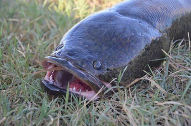 Найдены уникальные рыбы, способные выходить из воды