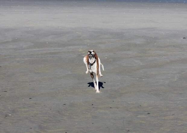 4. Летящей походкой… домашний питомец, животные, подборка, собака, фото, юмор