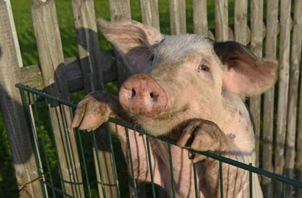 Ученые из Китая назвали свиней вероятной угрозой новой пандемии