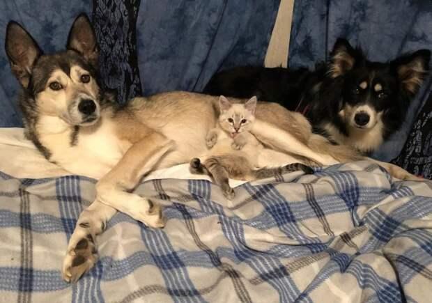 Заботливая собака заменила маму парализованному котенку дружба животных, кошки, мило, особенные животные, собаки, трогательно