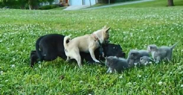 Миниатюрный чихуахуа защитил котят от большой собаки
