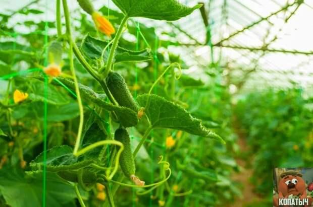Как правильно формировать огурцы, что бы собрать много хорошего урожая!?