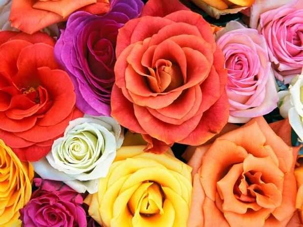 Роза - язык цветов