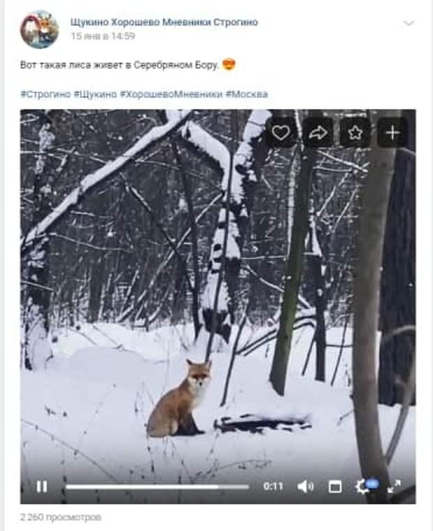 Жители обнаружили лису в Серебряном Бору