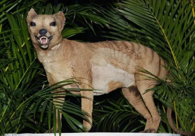 Чучело вымершего животного в Австралийском музее в Сиднее