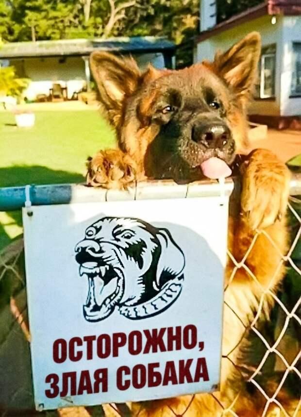 Собаки, на самом деле, остаются щенками на всю жизнь))