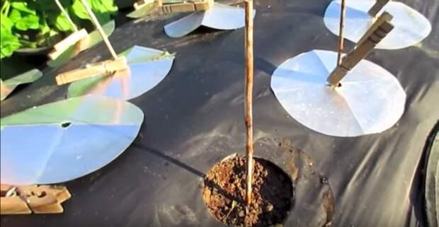 Как посадить морковь -по-американски-, которая точно вырастет в любых условиях