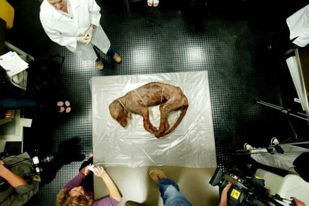 Сохранившееся тело тилацина в Национальном музее Австралии в Канберре.