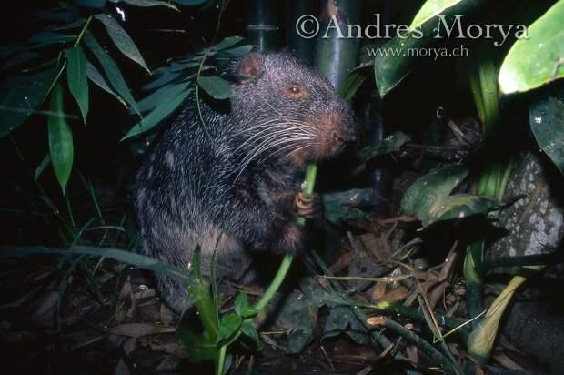 Пакарана: «Ужасная мышь» с зубами-мачете. Гигантский грызун весом в 15 кило, о котором мало что известно