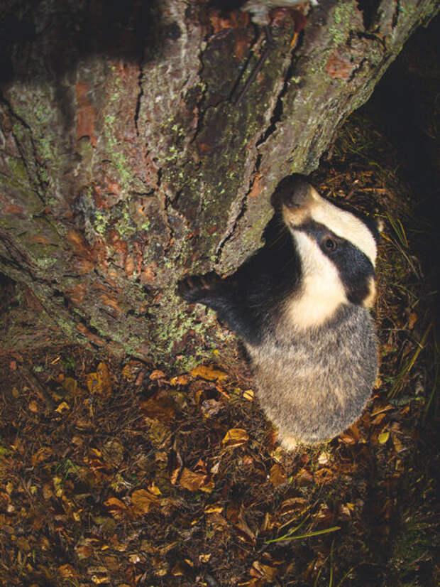 У барсуков идеальное обоняние, много лучше собачьего. Ориентируясь на запах, полосатый зверь находит пищу в самых потаенных местах. А порой способен учуять даже хорошо замаскировавшегося на дереве фотографа.