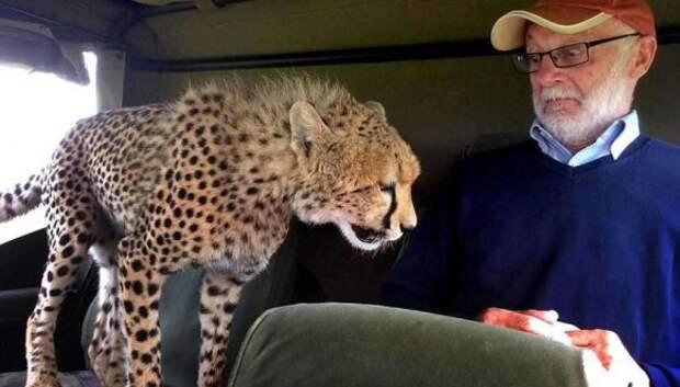 Тот самый неловкий момент, когда в джип запрыгнул гепард