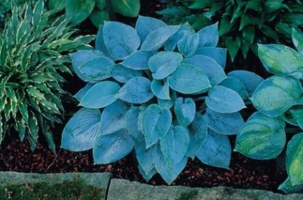 растения с декоративными листьями для сада