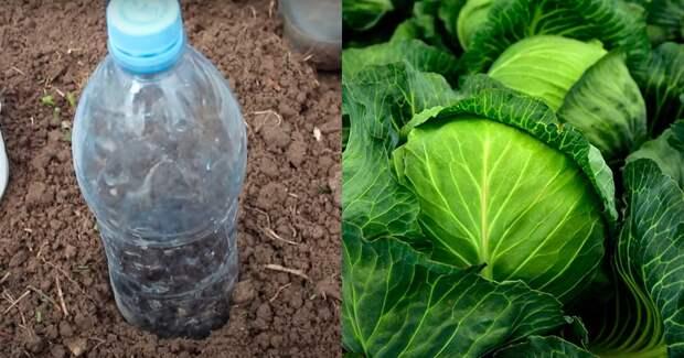 Посадка капусты под бутылки для шикарного урожая