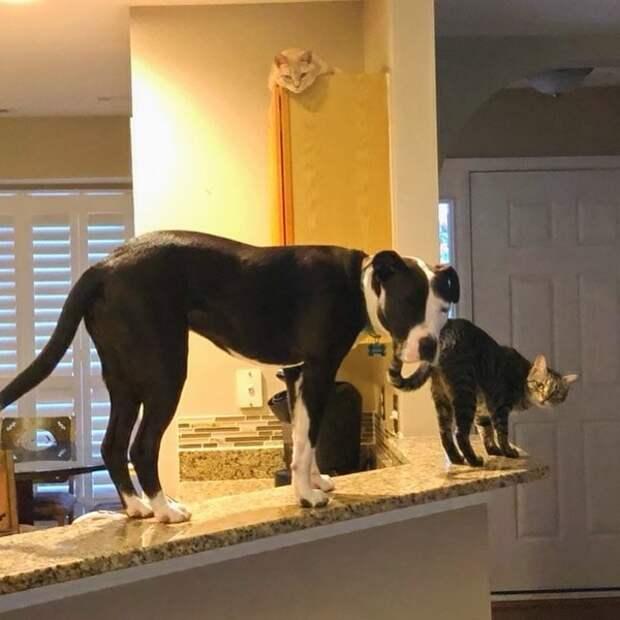 Американки забрали из приюта питбуля, но тот вдруг забыл, что он собака. Всему виной коты, живущие у девушек