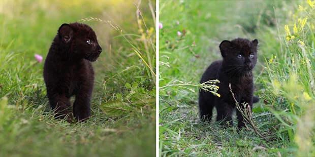 Пантера-сиротка научилась жить в снежной Сибири и подружилась с ротвейлером