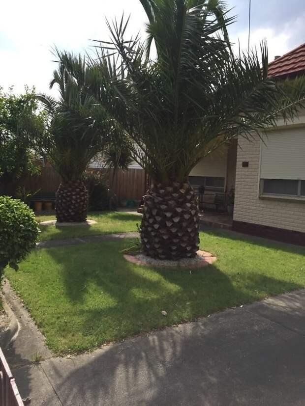 Эти деревья похожи на гигантские ананасы! интересно, не еда, несъедобное, поразительно, странные сближенья, съедобное, удивительно, удивительное рядом
