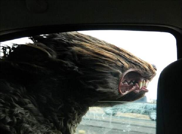 8 фото счастливых собак, которым в морду дует ветер