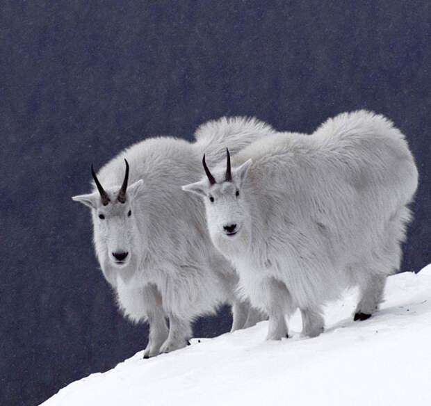 Животные-близнецы - 25 очаровательных фото-100
