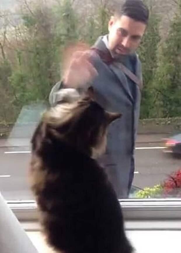Английские манеры: кошка из Йоркшира каждый раз машет хозяину, когда тот возвращается домой