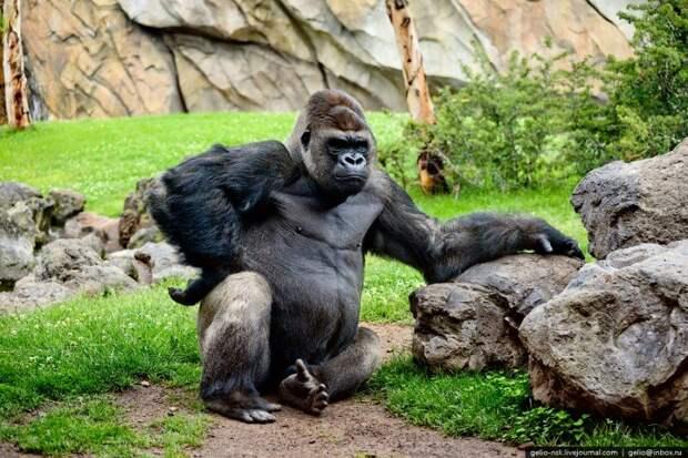 Из всех приматов, живущих в лесах Африки — гориллы самые большие. Они вырастают почти двух метровой высоты, и весят более ста пятидесяти кг. У них тёмная шерсть, большие и длинные лапы.