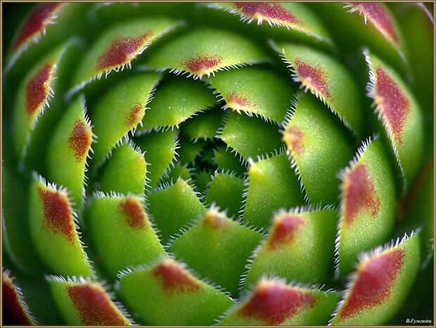 Молодило: любимое мужское растение