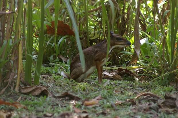 Javamousedeer02 Канчиль   удивительный олень малютка из тропиков