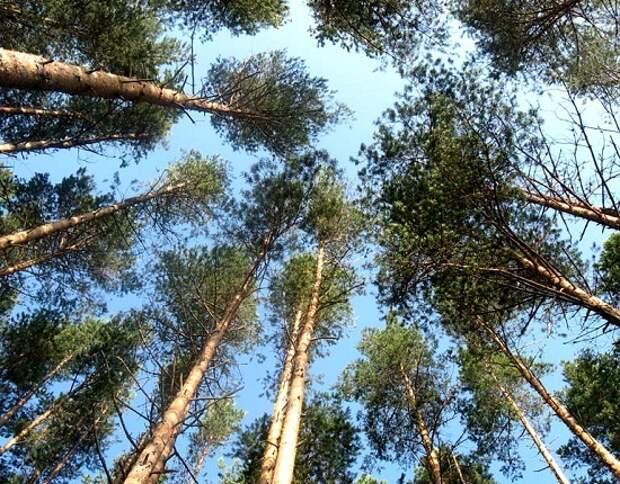 Скопа гнездится на высоких деревьях