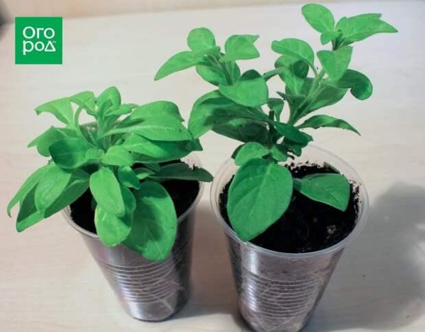 Выращивание петунии