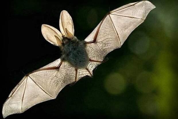 ТОП-10 самых интересных фактов о летучих мышах