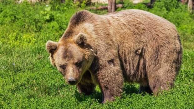 Семья медведей в Республике Алтай вышла из леса к жилым домам