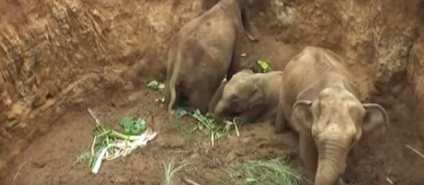 """""""Не вешать хобот!"""" Упавших в яму слонят трепетно нянчила и веселила вся деревня…"""