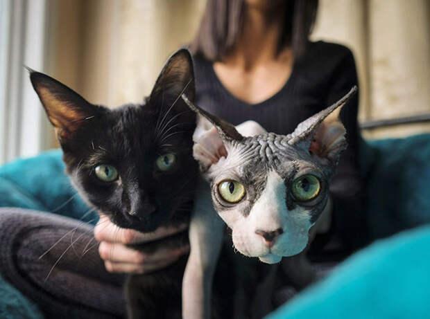 В Канаде мошенники бреют обычных котят и продают их по 700 долларов, выдавая за сфинксов