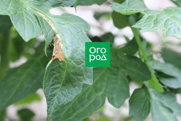 лист томата, пораженный болезнью