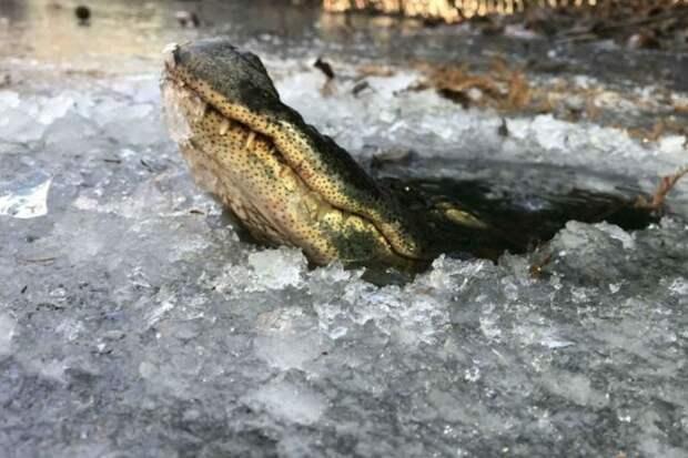 Как крокодилы живут зимой подо льдом