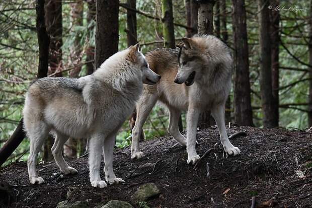 Американцы платят по 200 долларов, чтобы погладить диких волков