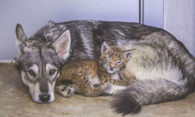 Женщина нашла котенка рыси и взяла его на ферму расти с собаками. Через 2 года рысь была частью стаи
