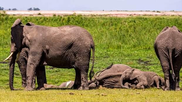 Слонам свойственно время от времени задремывать на несколько минут в течение дня