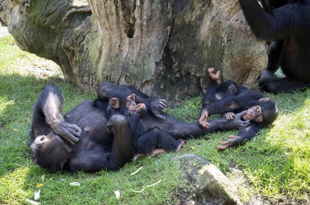 Мягкая игрушка на время заменила брошенному детенышу шимпанзе маму