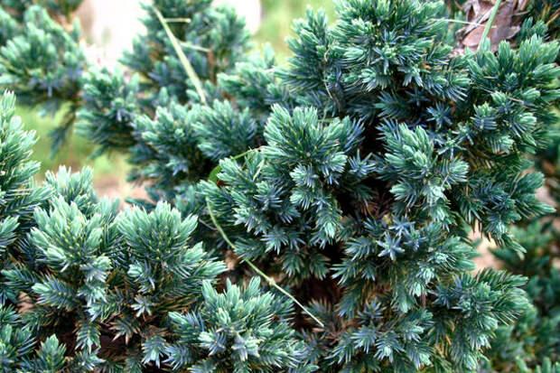 Juniperus squamata Blue Spider